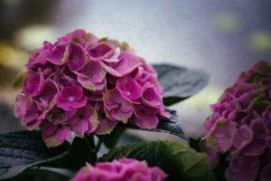 花 紫陽花