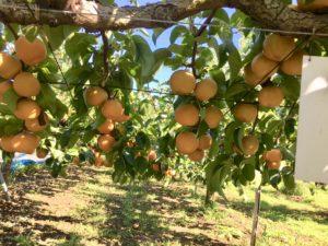 ワードプレス ブログ Green Ring 梨の木