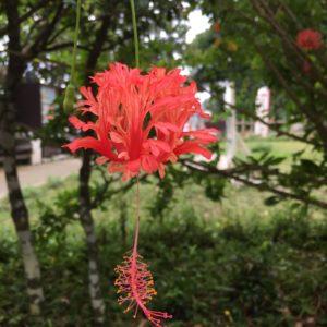 ワードプレス ブログ Green Ring 沖縄 赤い花