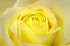 ワードプレス ブログ Green Ring 黄色 バラ